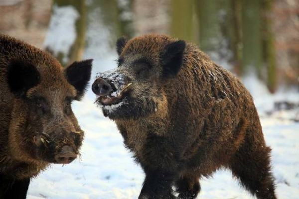В 2-х районах Чувашии из-за АЧС закрыли охоту накабанов